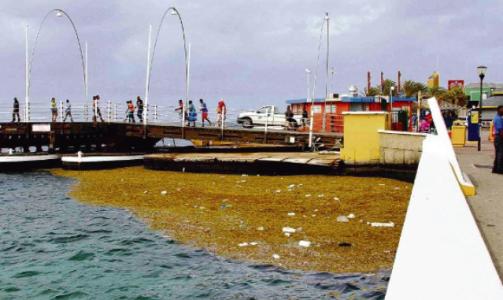 zeewier in de Annabaai. Het plastic drijft er helaas al langer...